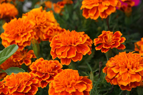 marigolds by eugenia Teaching plot structure through short stories this lesson plan uses the flowers by alice walker and marigolds by eugenia collier as examples however, any stories that you're reading will work for this lesson plan if desired.