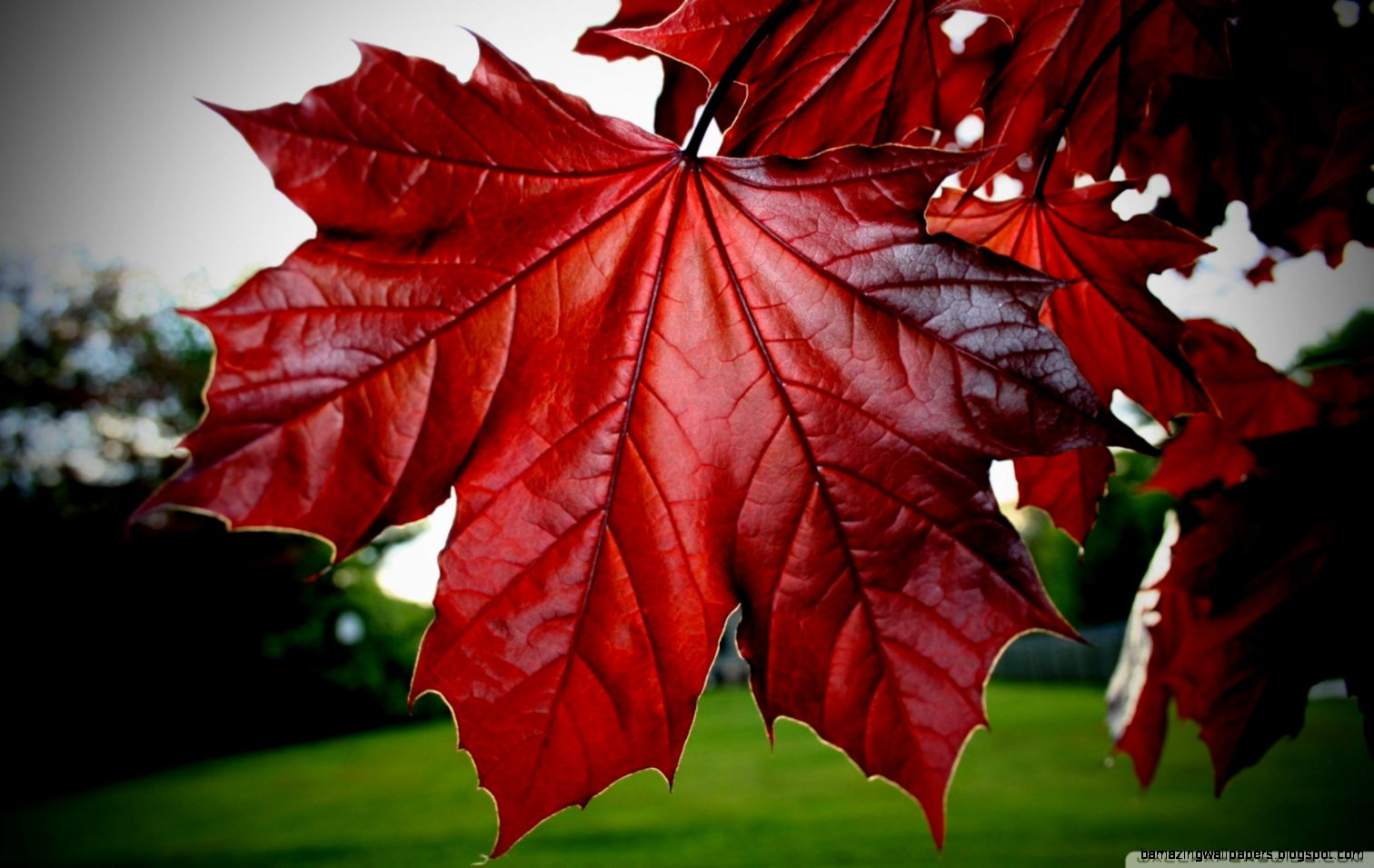 Red Maple Leaf HD desktop wallpaper  High Definition  Fullscreen