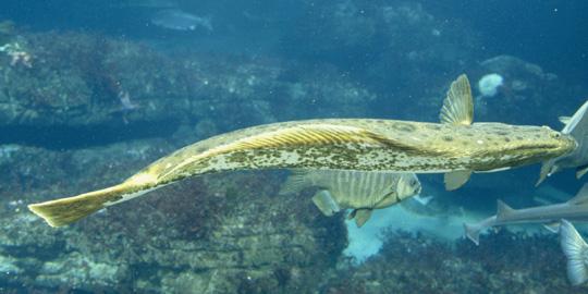 California halibut fishes for California halibut fishing