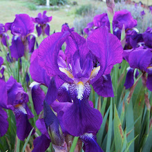 Brizel Organic Iris Rhizome Bulbs