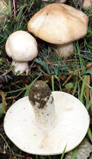St George's mushroom, button and open cap, top, image of gills, bottom
