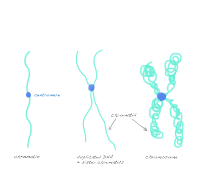 difference chromosome chromatid chromatin