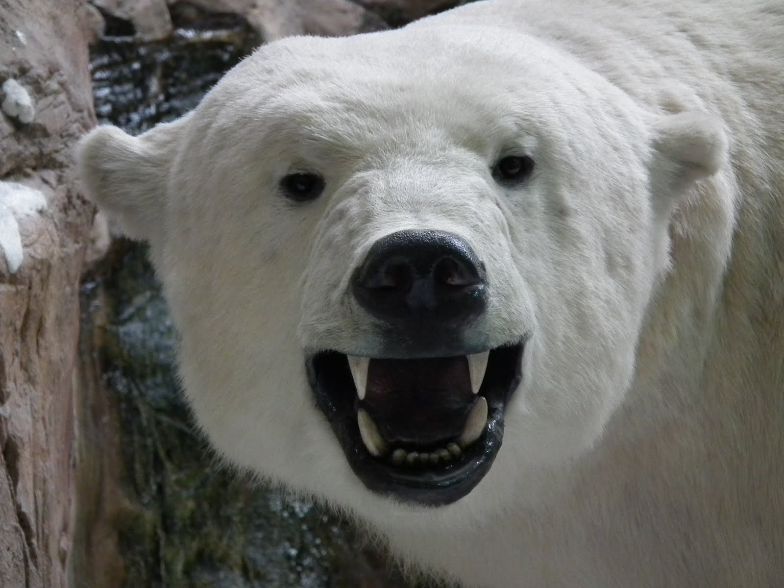 Angry Polar Bear Face