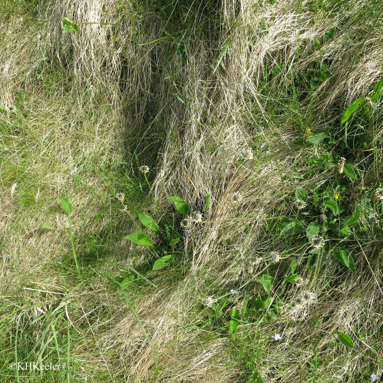 Plantago lanceolata on the Shetlands