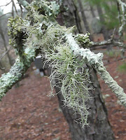 lichen thread