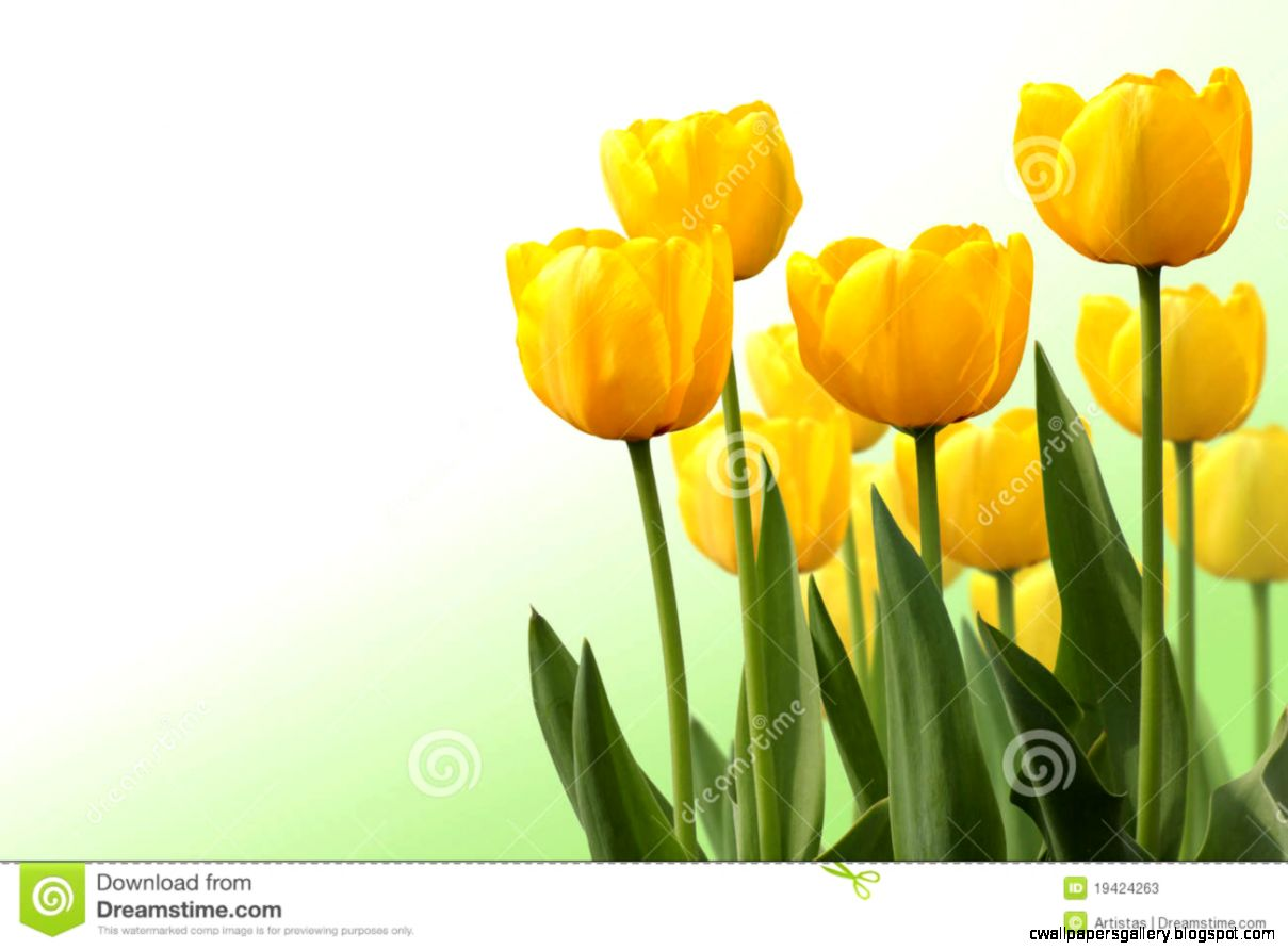 Tulip Isolated On White Background Stock Photos   Image 19424263