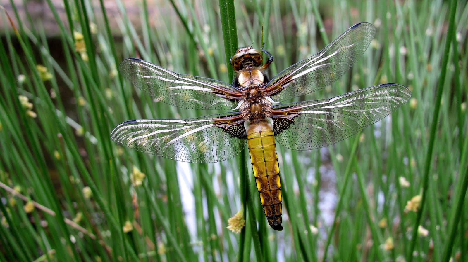 foto's van libelles