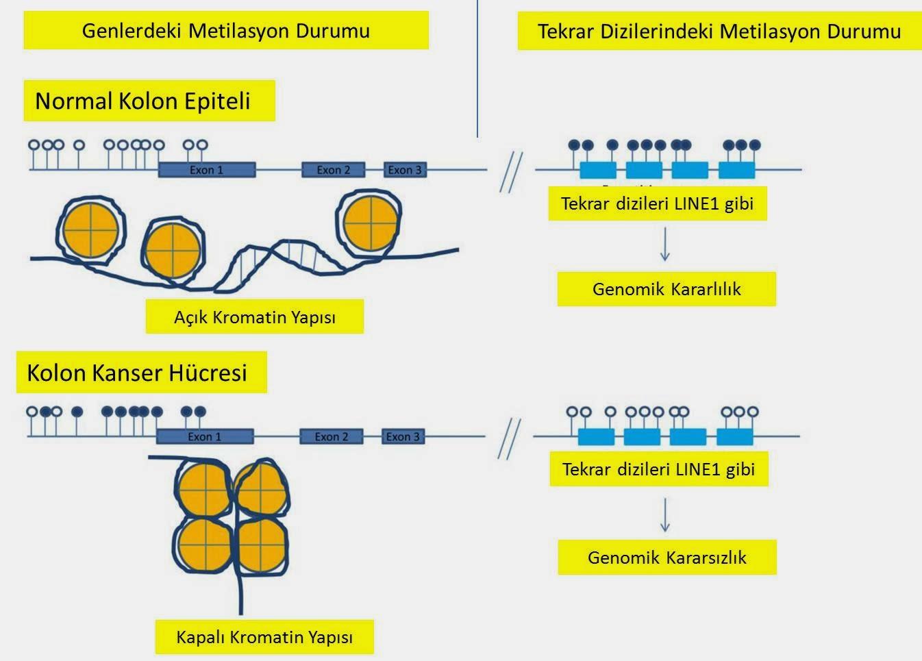 normal ve kanser hücresinde metilasyon durumunun karşılaştırması