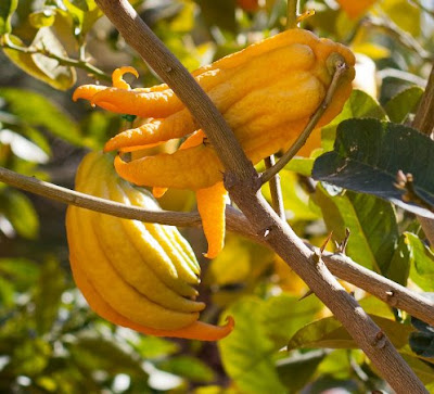 buah tangan buddha