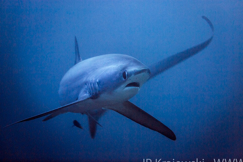 Thresher shark at Malapascua