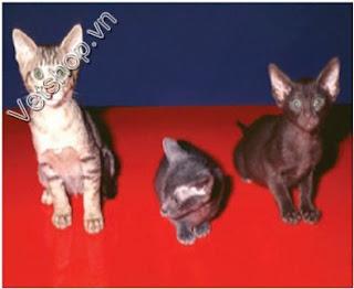 Bệnh do Coronavirus trên mèo