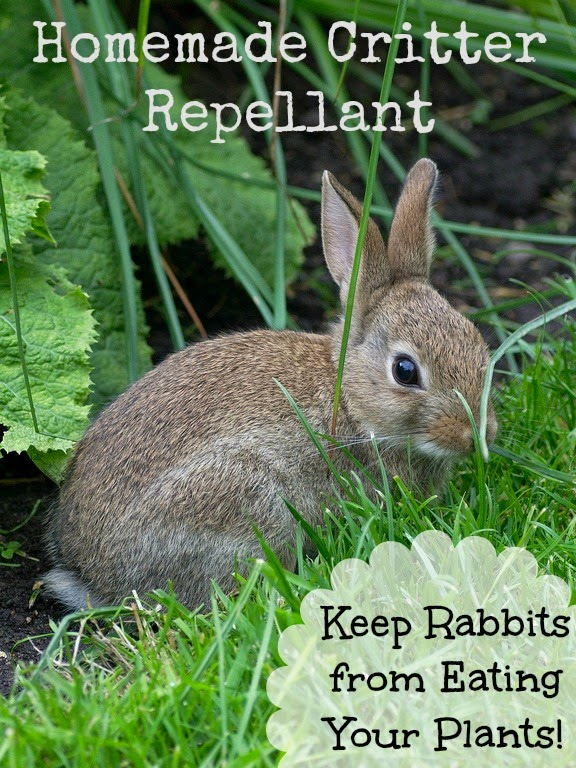 http://pinspiredhome.blogspot.com/2014/06/homemade-critter-repellant-keep-rabbits.html