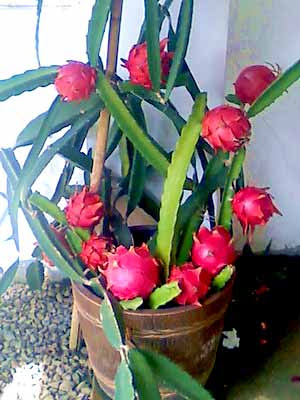 Red Dragon Fruit in a Pot