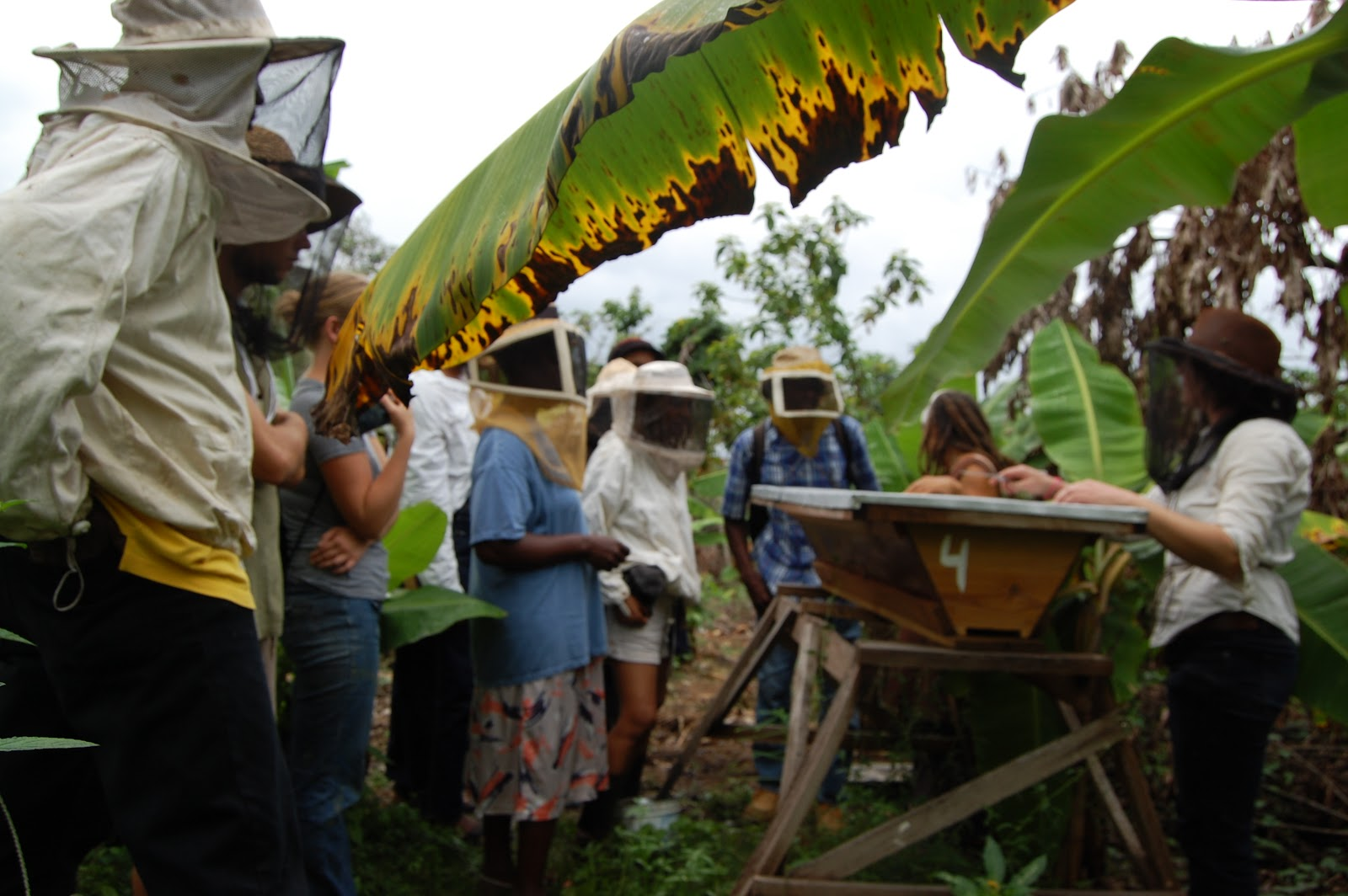 apiculture in jamaica Many beekeepers in jamaica, including our family, are open to exploring natural and sustainable methods of beekeeping when we learned about top bar beekeeping, we were so excited we wanted to share information about this method with other beekeepers around the island.