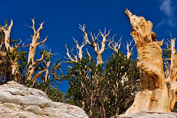 عينات '' لاقدم شجرة'' في العالم بالصور 14_bristlecone
