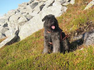 Bouvier des flandres, Lovaktarens Vega, Hund på tur