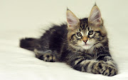 Maine Coon Cat Wallpapers maine coon cat wallpapers