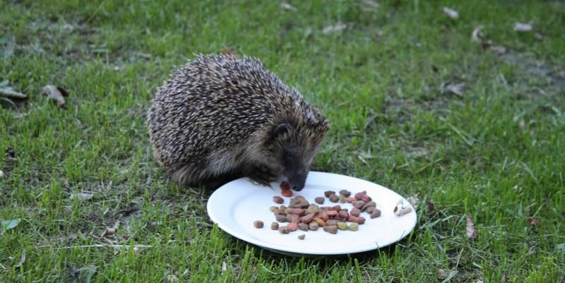 hvad spiser pindsvin