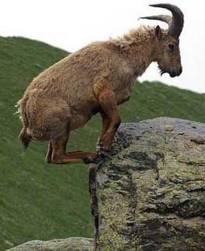 Latest Funny Pictures: Funny Goats Pics And Wallpapers