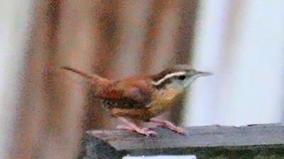 Carolina Wren in Florida