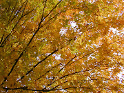 Etiquetas: arboles de otoño, . linda rama de un gran arbol de otoã±o