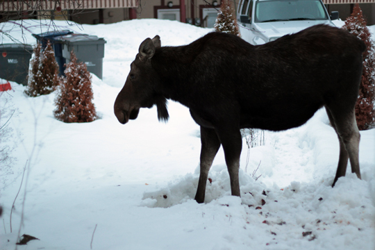 moose in our backyard sandpoint