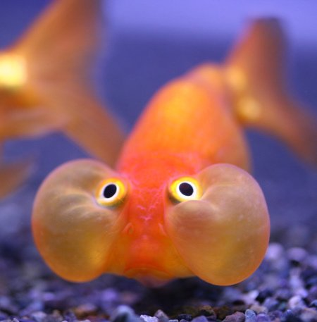 funny small aquarium fish funny animal