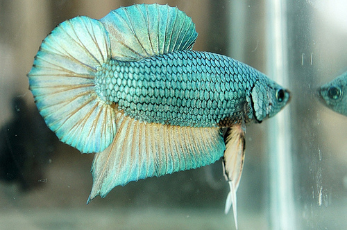 Betta fish nice betta for How to care for betta fish