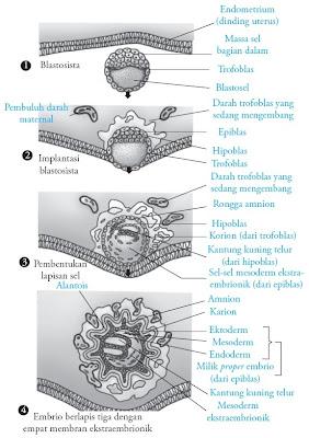 Perkembangan awal embrio manusia dan membran ekstraembrionik