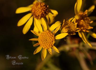 Nahaufnahme einer Blume mit ihren Pollen