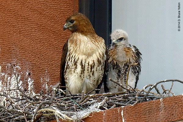 http://urbanhawks.blogs.com/urban_hawks/2014/05/washington-square-park-1.html