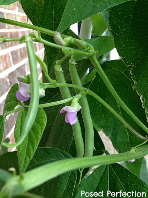 Green Beans on Tower Garden