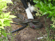. a three foot black snake and started beating it against the walkway!