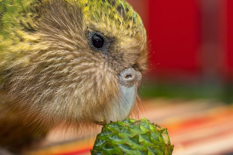 The kakapo and also called  owl parrot, live in New Zealand, an island country which had virtually no mammals living on it for millions of years.