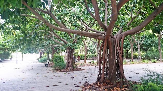 walencja drzewa w hiszpani, fikus gigant, piękne drzewa egzotyczne, roślinność Hiszpanii, blogerka wnętrza, podróże