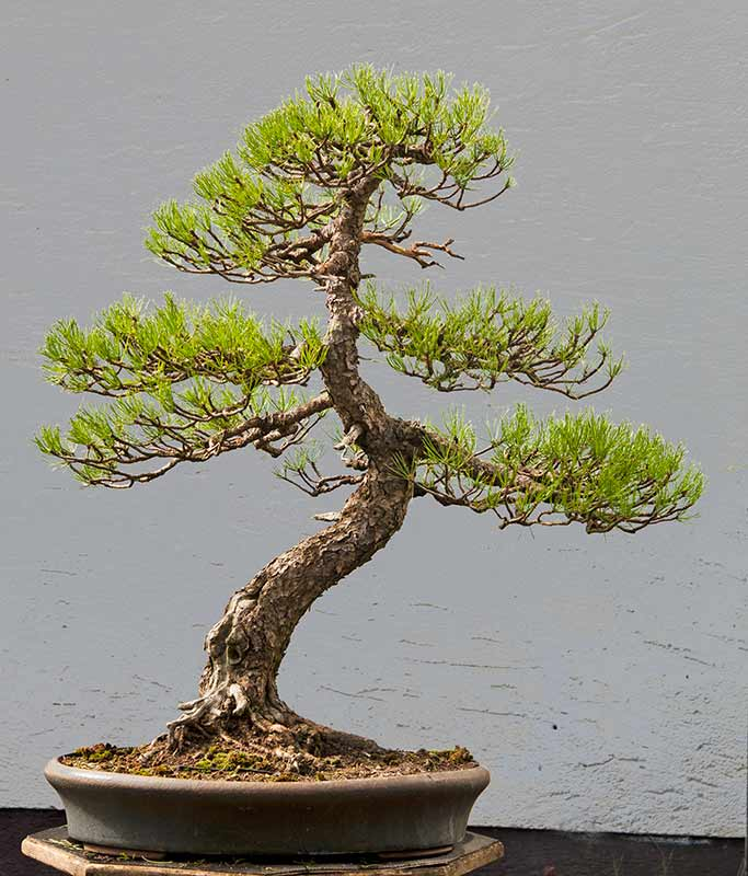 walter pall bonsai adventures mugo pine 6. Black Bedroom Furniture Sets. Home Design Ideas