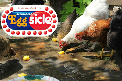 Scrambled, frozen eggs are a special summer treat to help chickens with their protein intake while staying cool.