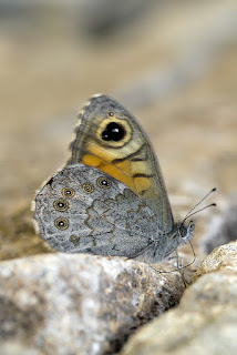 Para ampliar Lasiommata megera (Linnaeus, 1767) Saltacercas hacer clic
