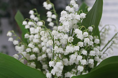 Beautiful flower, Lily of the valley
