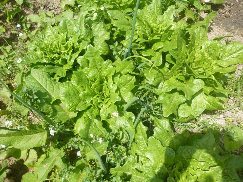 Συγκαλλιέργεια Φυτών