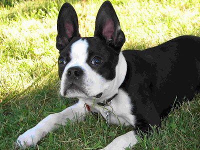 Boston Terrier Puppies Pictures