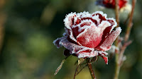 frozen red rose flowers wallpaper