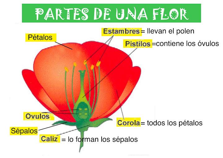 Esquema de la flor indicando sus partes - Imagui