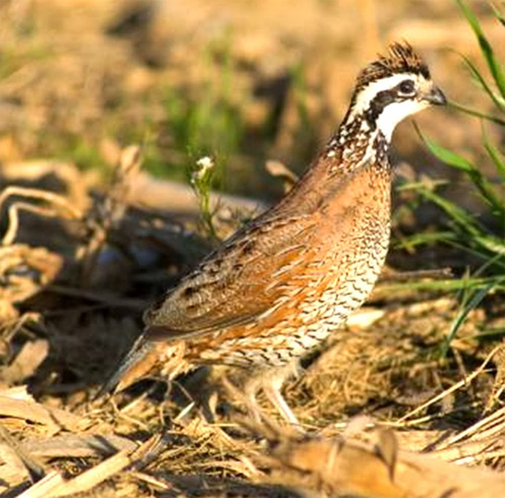 quail feed, feeding quails, what do quails eat, food of quails