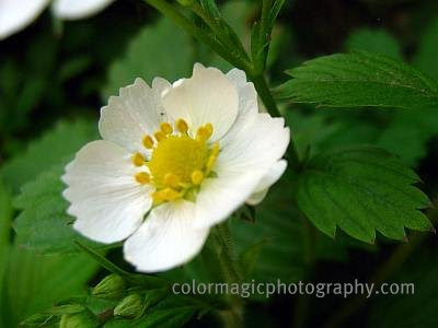 Wild strawberry flower closeup-Fragaria vesca