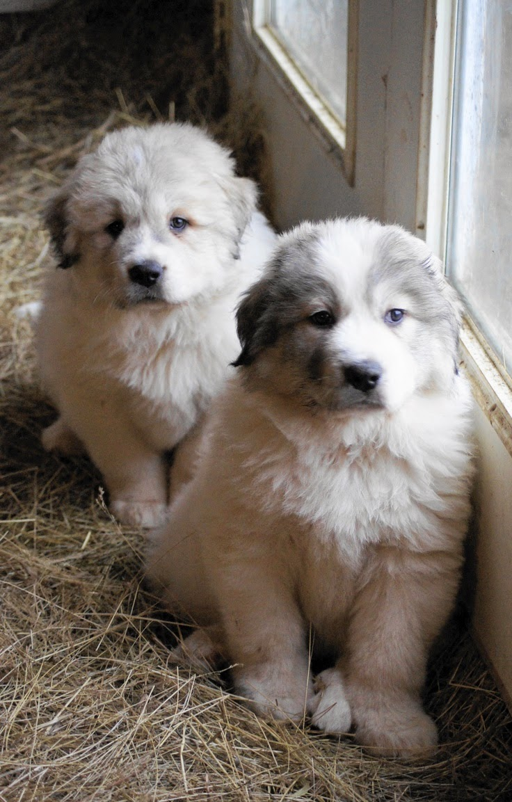 See more Great Pyrenees Puppy at Boondockers Farm http://cutepuppyanddog.blogspot.com/