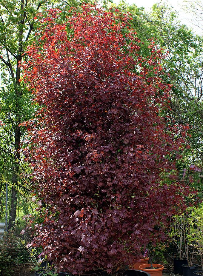 Hortus italicus acer platanoides 39 crimson sentry 39 for Acero riccio