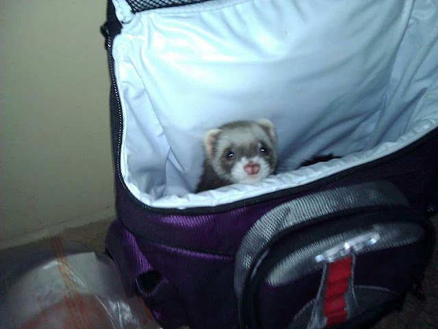 funny animal pics, animal photos, baby ferret