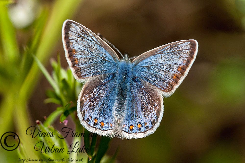 Common Blue - Lodge Lake, Milton Keynes