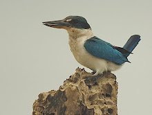 White-collared Kingfisher_2011